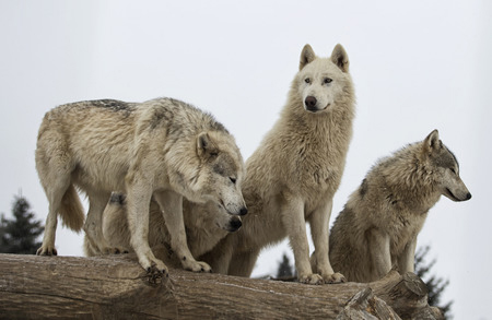 Dominator Hierarchy, the wolf pack